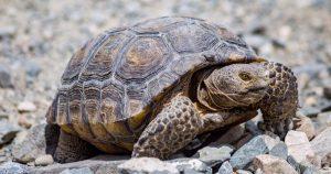 Dessert Tortoise Care