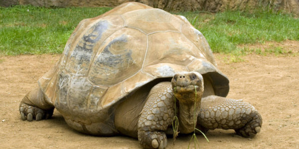 The Galapagos Tortoise Fact Sheet