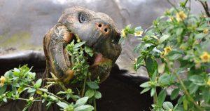 Tortoise Eating Flowers