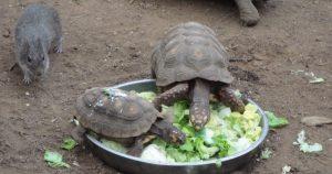 Tortoises Feeding