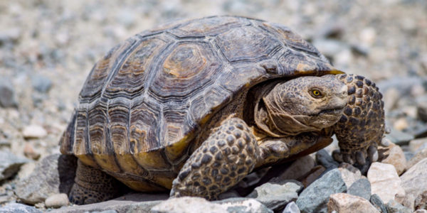 All You Need To Know About Dessert Tortoise Care