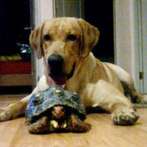 Labrador with Red-Footed Tortoise