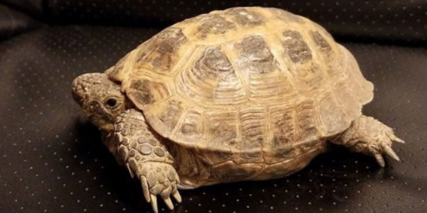 Russian Tortoise Diet Guide / Helpful Tips And Tricks